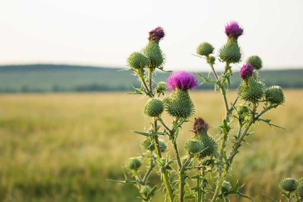 Látky a zloženie rastliny Silybum marianum