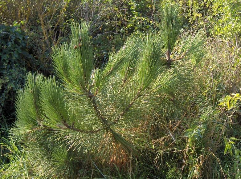 Borovica prímorská - Pinus pinaster