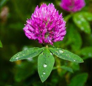 Ďatelina lúčna: liečivé účinky, čaj, pestovanie, využitie