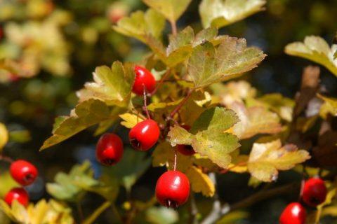 Hloh obyčajný: predaj, pestovanie, použitie, účinky, zber
